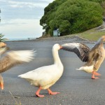 Extremely large Geese walking on the road