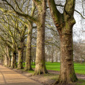 Trees beside Buckingham Palace