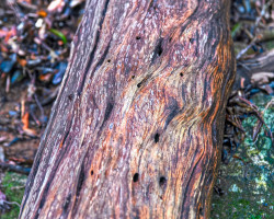 Yakushima Island, Japan. Photo of wooden log with twisted natural beauty