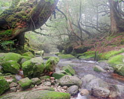 Large Japanese cedar tree over the river, Yakushima island, Japan