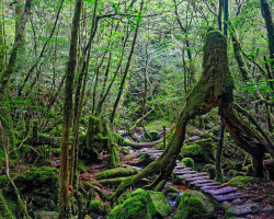Photo of a wooden walkway through a Japanese cedar tree, Yakushima island, Japan