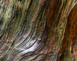 Closeup photo of twisted Japanese cedar tree on Yakushima island, Japan