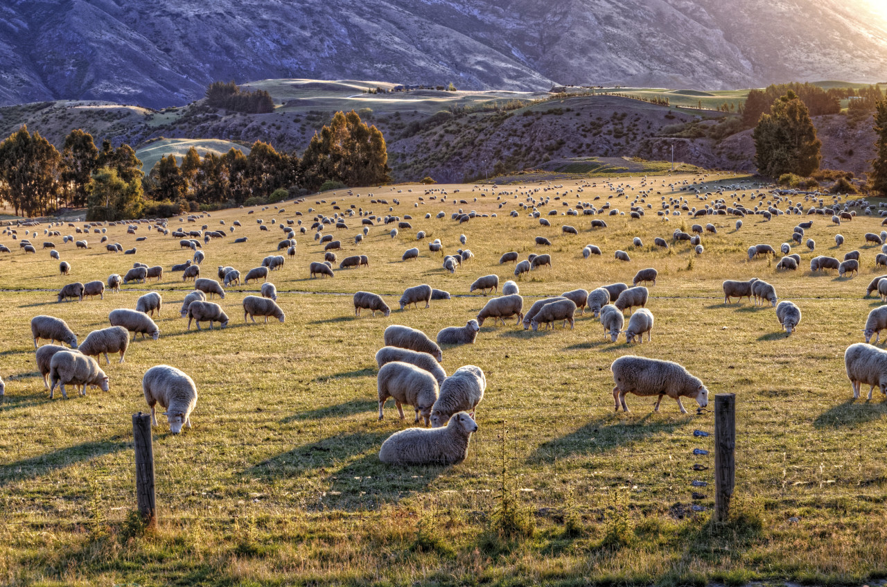Hundreds of Sheep with a Golden Glow